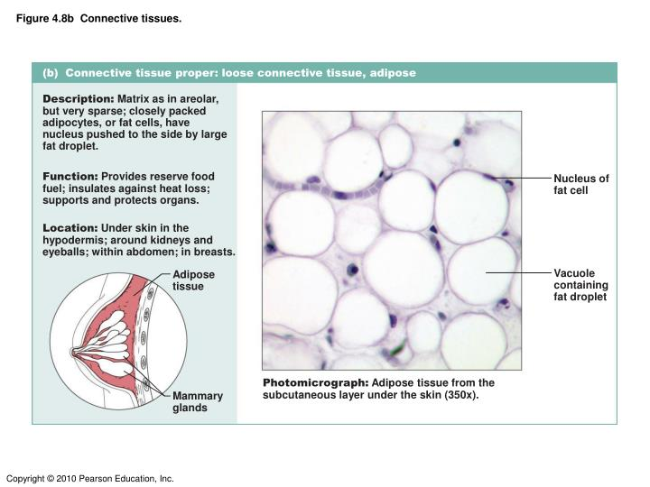 Figure 4.8b  Connective tissues.