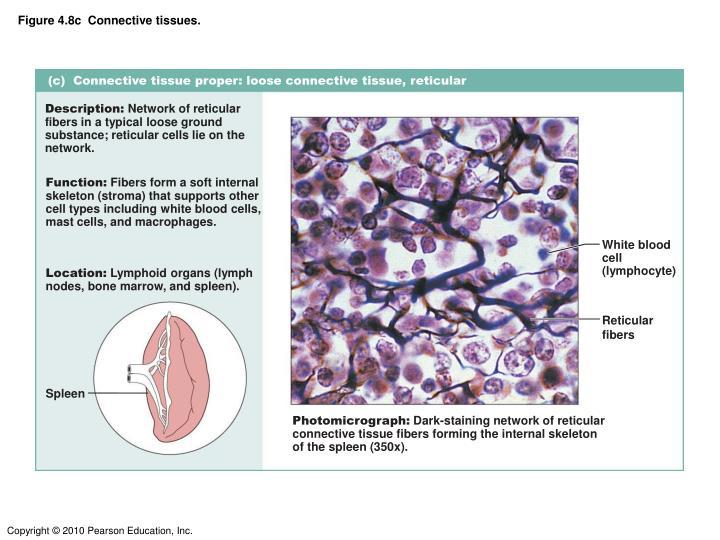 Figure 4.8c  Connective tissues.