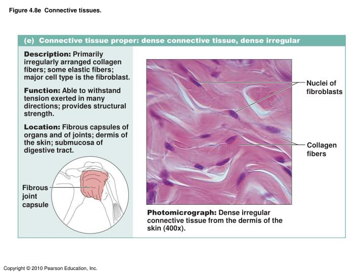 Figure 4.8e  Connective tissues.