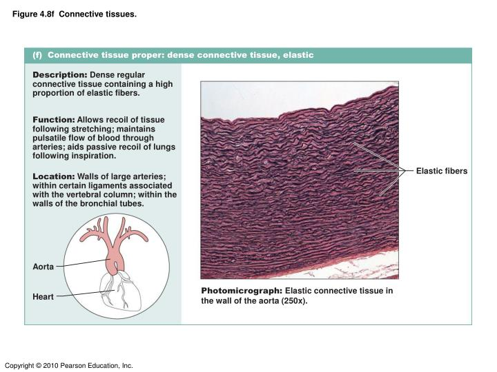 Figure 4.8f  Connective tissues.