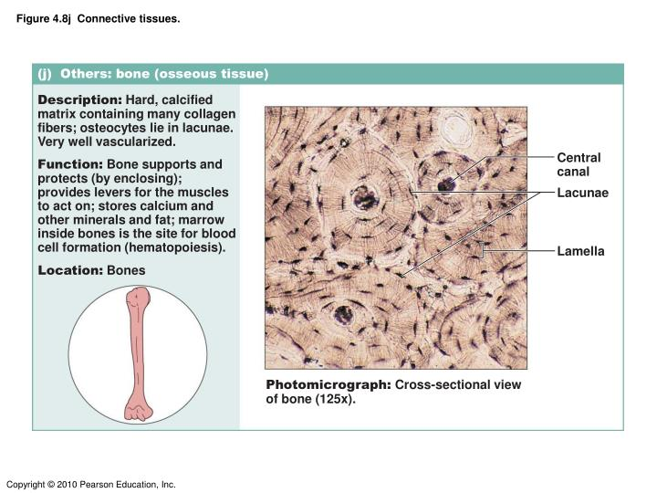 Figure 4.8j  Connective tissues.