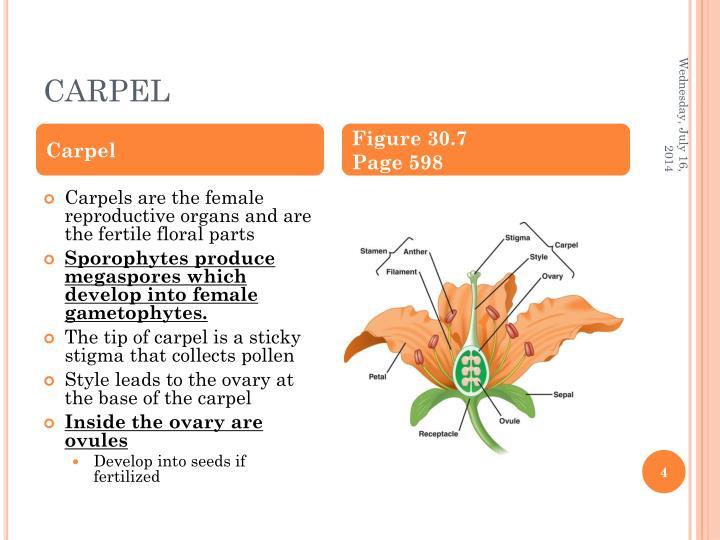 CARPEL