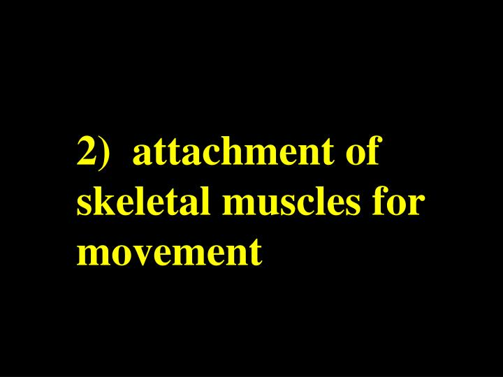 2)  attachment of skeletal muscles for movement