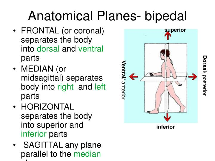 Anatomical Planes- bipedal