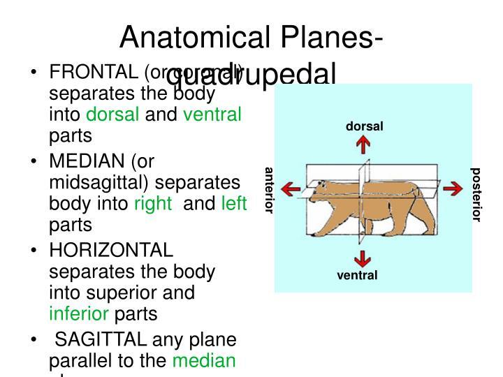 Anatomical Planes- quadrupedal