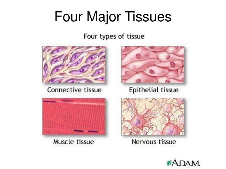 Four Major Tissues