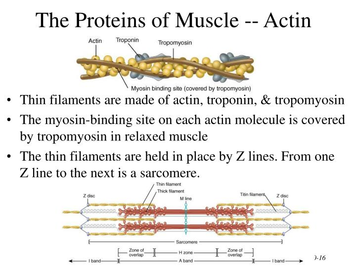 The Proteins of Muscle -- Actin
