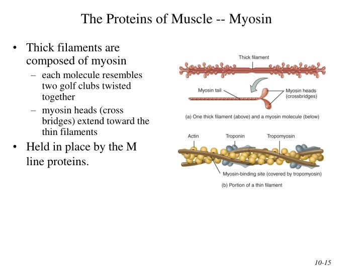 The Proteins of Muscle -- Myosin