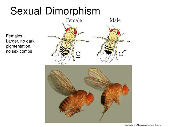 Sexual Dimorphism