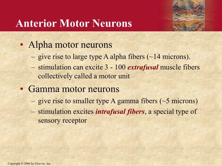 Anterior Motor Neurons