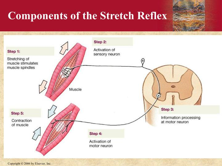 Components of the Stretch Reflex
