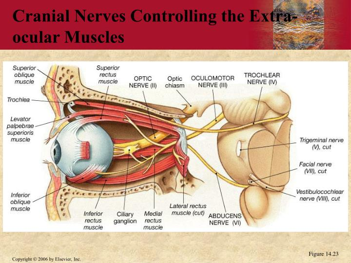 Cranial Nerves Controlling the Extra-ocular Muscles