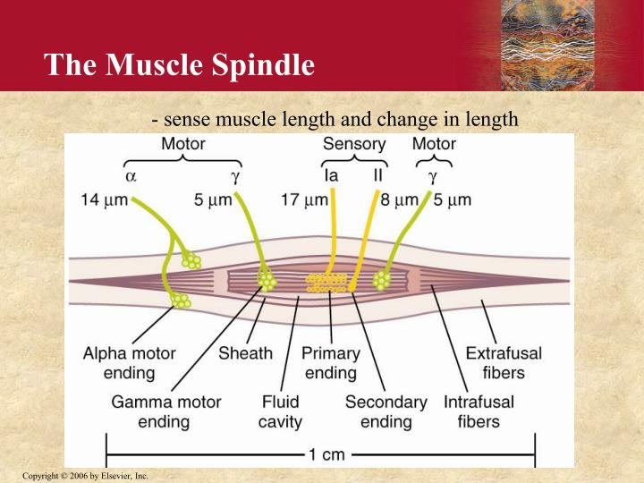 The Muscle Spindle