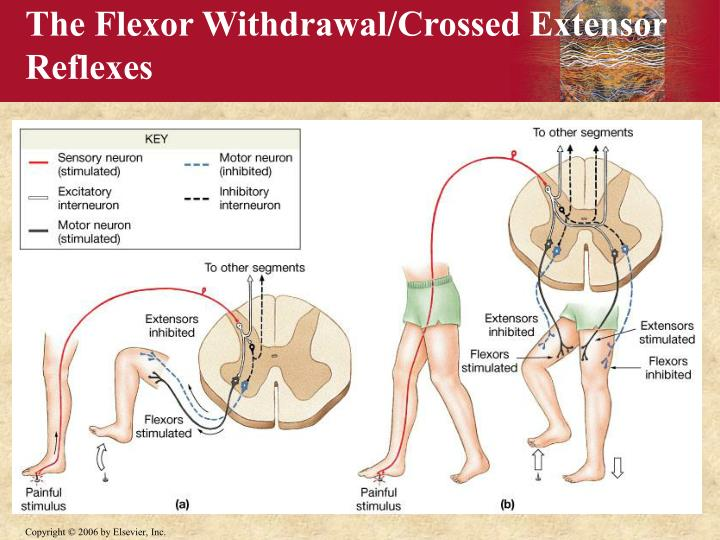 The Flexor Withdrawal/Crossed Extensor
