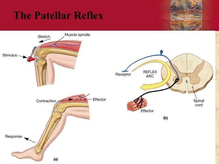 The Patellar Reflex