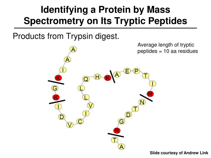 Identifying a Protein by Mass Spectrometry on Its Tryptic Peptides