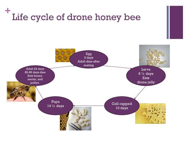 Life cycle of drone honey bee