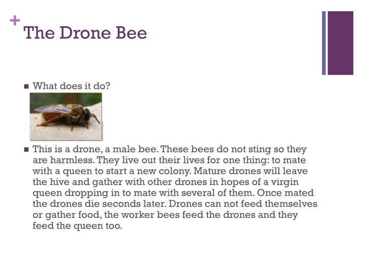 The drone bee