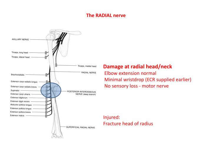 The RADIAL nerve