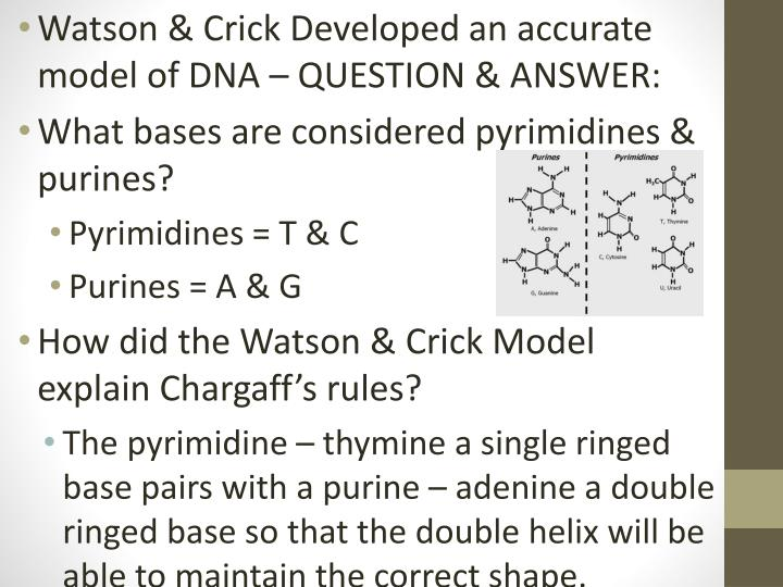 Watson & Crick Developed an accurate model of DNA – QUESTION & ANSWER: