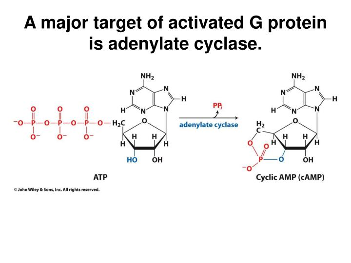 A major target of activated G protein is adenylate cyclase.