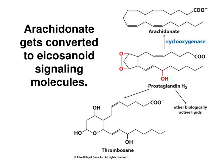 Arachidonate gets converted to eicosanoid signaling molecules.