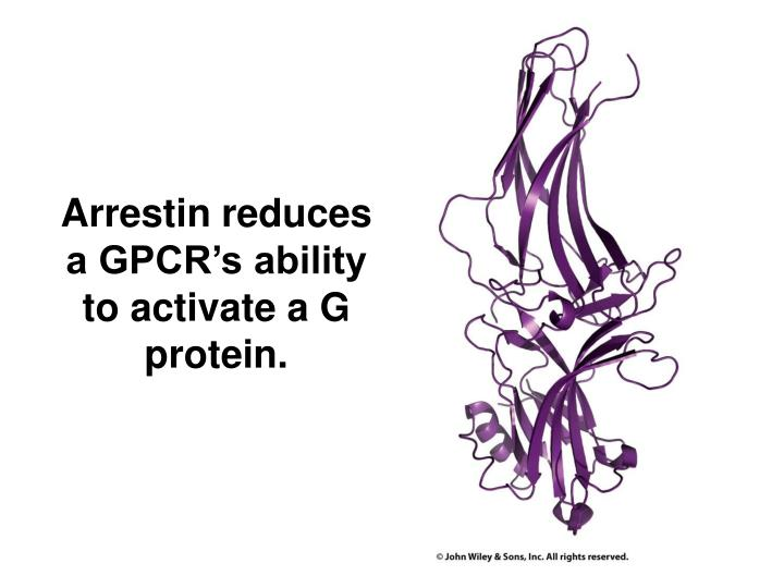 Arrestin reduces a GPCR's ability to activate a G protein.