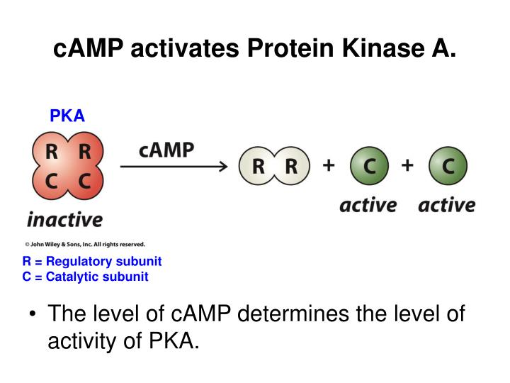 cAMP activates Protein Kinase A.