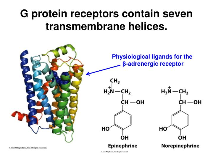 G protein receptors contain seven transmembrane helices.