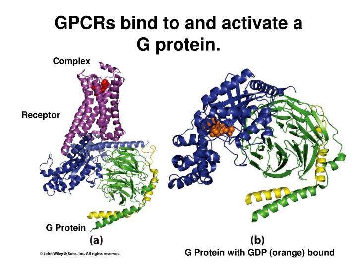 GPCRs bind to and activate a