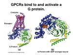 gpcrs bind to and activate a g protein