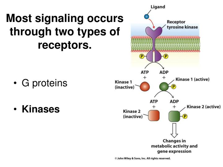 Most signaling occurs through two types of receptors.