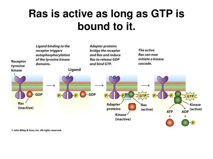 Ras is active as long as GTP is bound to it.