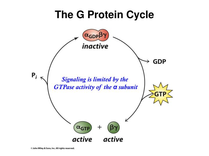 The G Protein Cycle