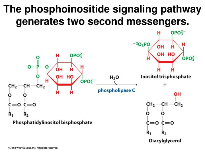 The phosphoinositide signaling pathway generates two second messengers.