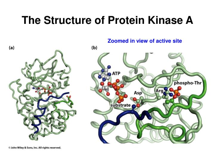 The Structure of Protein Kinase A