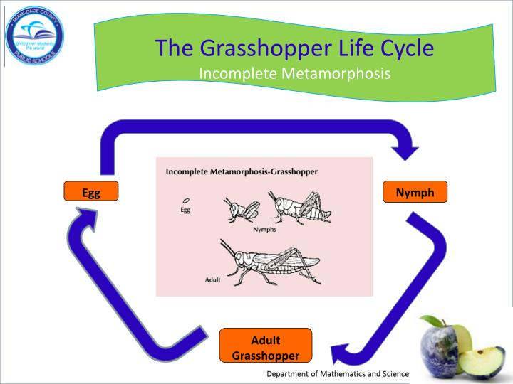 The Grasshopper Life Cycle