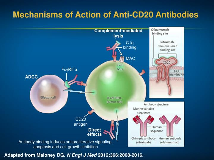 Mechanisms of Action of Anti-CD20 Antibodies