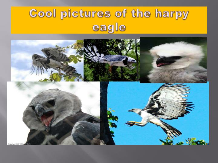 Cool pictures of the harpy eagle