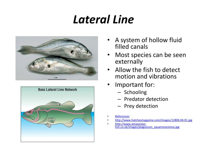 Lateral Line
