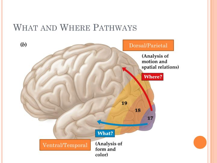 What and Where Pathways