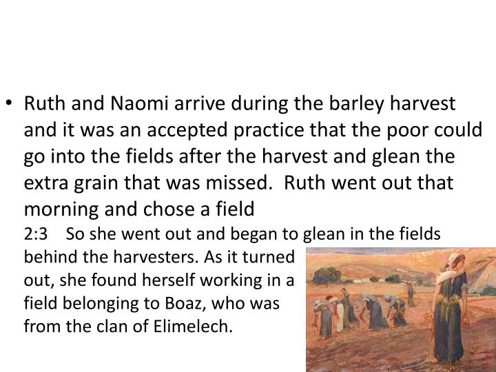 Ruth and Naomi arrive during the barley harvest and it was an accepted practice that the poor could go into the fields after the harvest and glean the extra grain that was