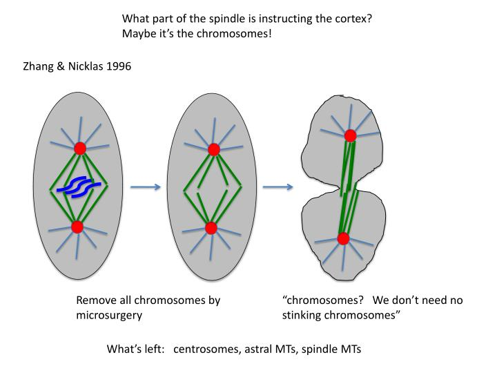 What part of the spindle is instructing the cortex?
