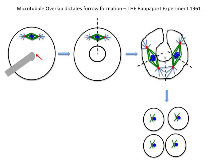 Microtubule Overlap dictates furrow formation –