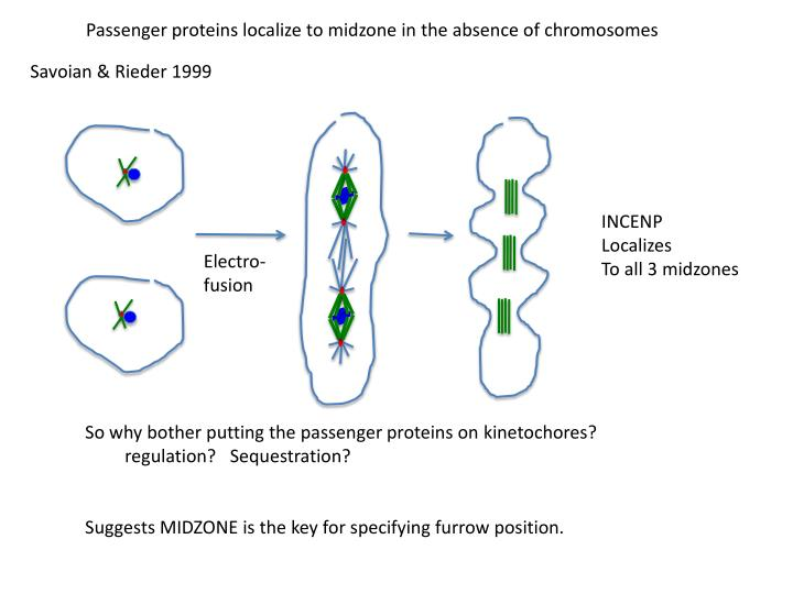 Passenger proteins localize to