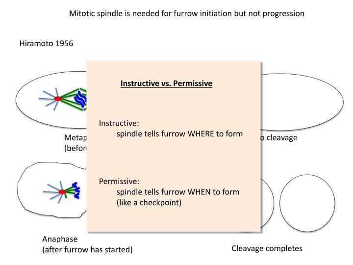 Mitotic spindle is needed for furrow initiation but not progression