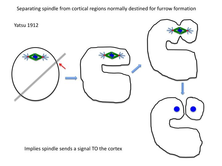 Separating spindle from cortical regions normally destined for furrow formation