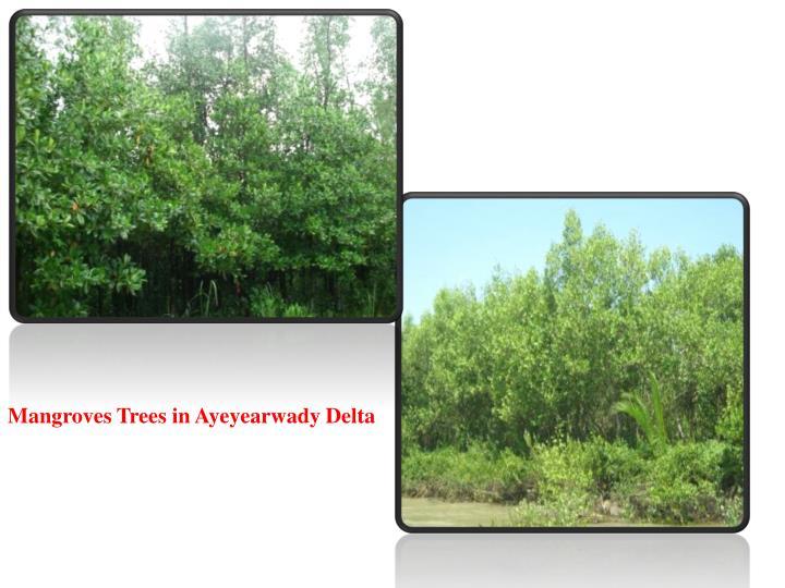 Mangroves Trees in