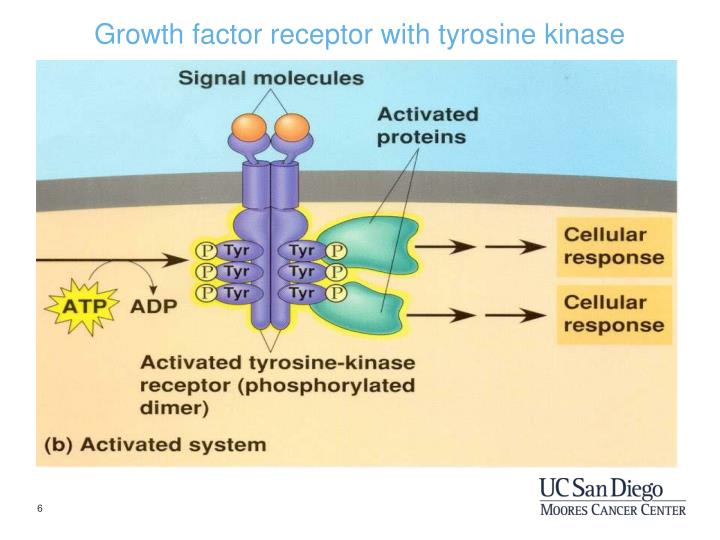 Growth factor receptor with tyrosine kinase