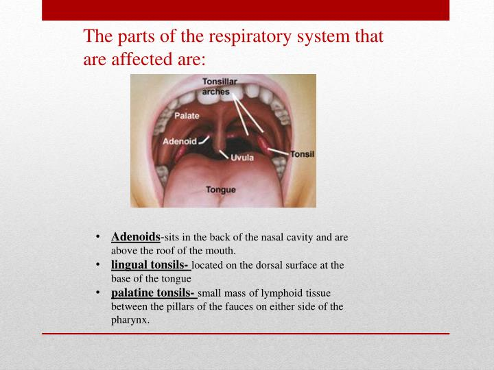 The parts of the respiratory system that are affected are: